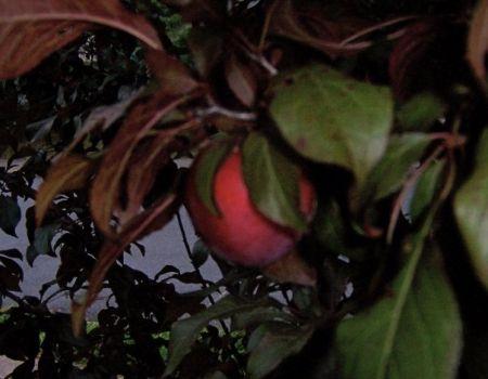 plum in the tree