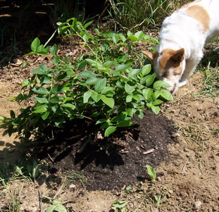 planted blueberry bush and Emmet lending his expertise