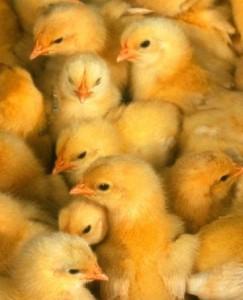Male Chicks